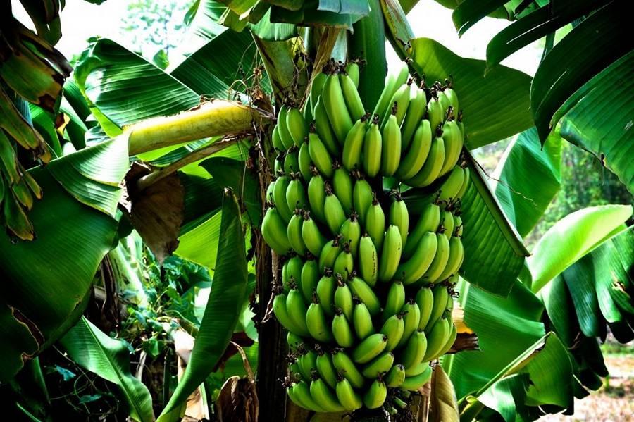 соплодие банана