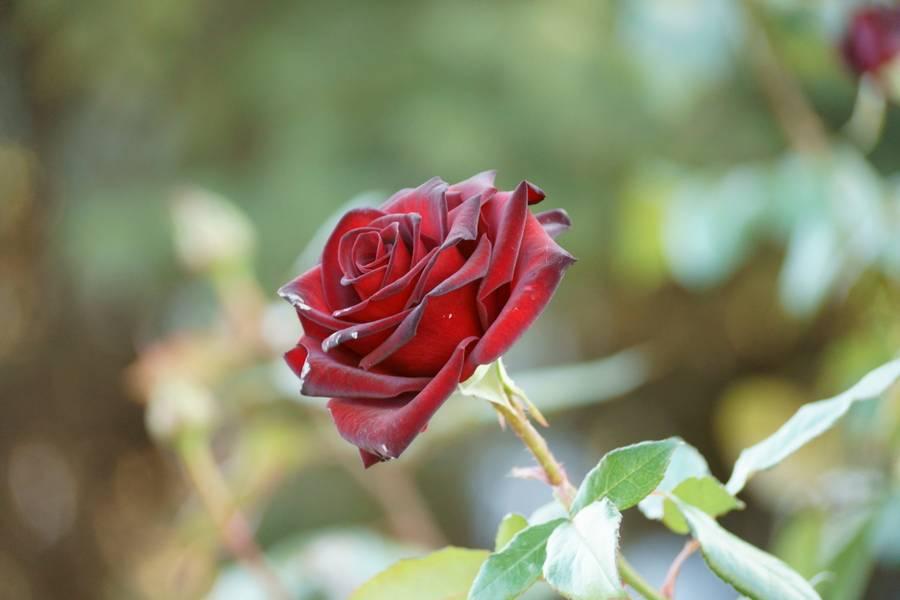 Чашелистик розы на кусте